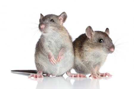 mice-2